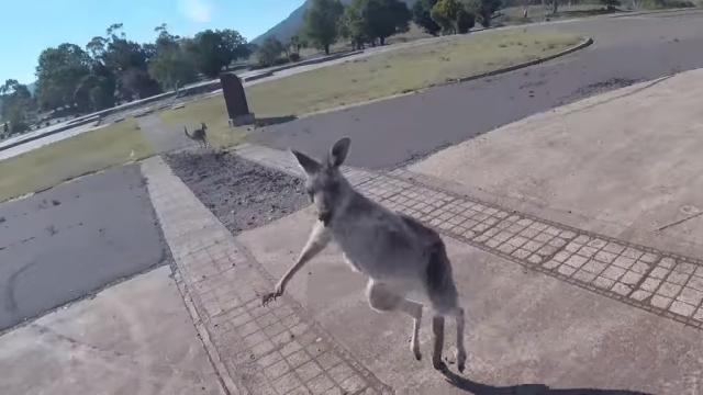 オーストラリアでパラグライダーを楽しんでいた男性、カンガルーから手荒い歓迎を受ける