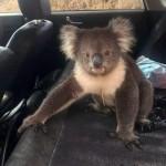 車のドアを開けたら、冷房の効いた車内にコアラが勝手に入り込んでいてびっくり!