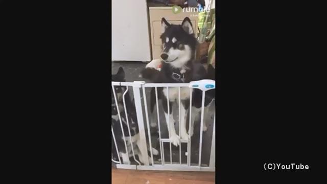 ゲートのロックを外して悠々と脱出する賢いハスキー犬