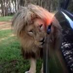 車を見つけては顔をすり寄せてくるライオンが怖くもかわいい