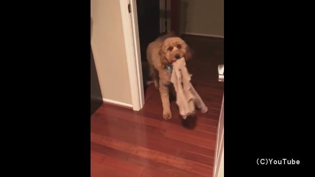 毎晩、寝床に入る前にお気に入りのグッズを持ってくる犬が可愛い