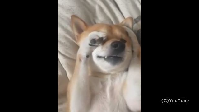 寝たりない柴犬の寝起きのしぐさがとっても可愛い