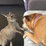 「ボスは誰?」と同居犬に虚勢を張って荒ぶる小さなカンガルーが可愛い