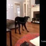 自分の尻尾を捕まえたものの、どうしていいのかわからず混乱する犬