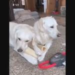 おやつを食べていてうっかり同居犬の足を噛んでしまう犬