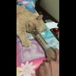 いびきをかいて寝ている猫にマイクを向けてイタズラを仕掛けてみた結果