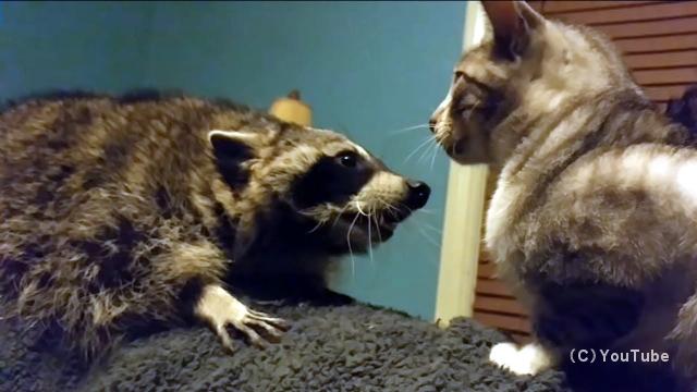 猫と遊びたいのに冷たく無視されて失望するアライグマ