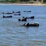 ラッコの群れが仰向けになって一斉に泳ぐユーモラスな光景