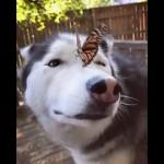 鼻に止まった蝶をどうしたらいいのか分からず戸惑うハスキー