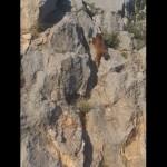 垂直に切り立った岸壁を軽々と登っていくクマの身体能力がスゴイ!