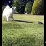 ゆっくり歩いているようで意外と速いカメに驚くサモエド犬