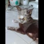 おやつと間違って小麦粉の袋を破いて顔が粉だらけになってしまった猫
