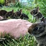 懐いてきたウサギの赤ちゃんたちと至福のひと時を過ごす男性