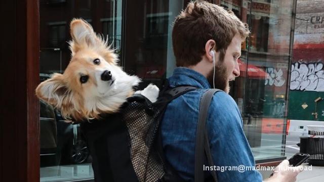 リュックにすっぽりと収まったコーギー犬、ニューヨーク地下鉄の人気者
