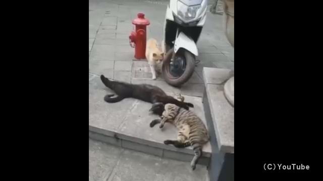 これはヤバイ!?|浮気の現場を押さえられ慌てふためく猫の修羅場シーン