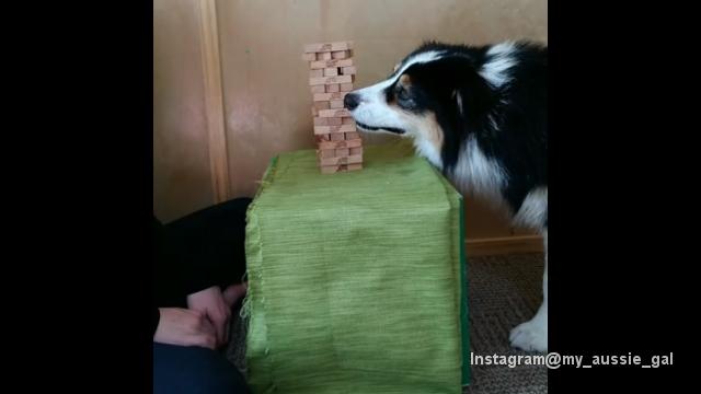 飼い主とジェンガに興じる賢いオーストラリアンシェパードのシークレットちゃん