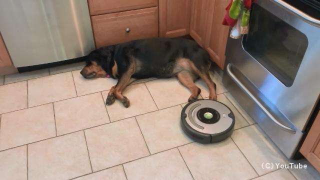 お掃除ロボットの移動を拒否するロットワイラー犬のグレーシーちゃん