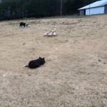 ホイッスルの指示に従いカモを思い通りの場所へ誘導する3匹の牧羊犬