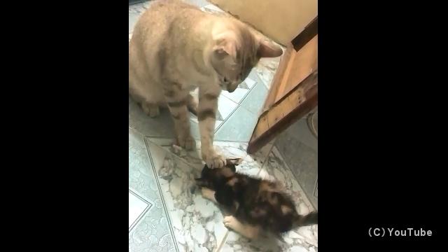 落ち着きのない子猫の頭を押さえつけて冷静になるように促す成猫