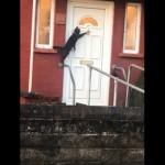 玄関のドアをノックする礼儀正しいネコ