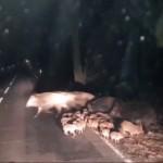 たくさんのウリ坊を従えて道路を横断するイノシシの大家族