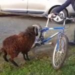 自転車を敵認定して突進してくるヒツジの執拗な攻撃に困惑する男性