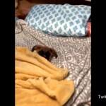 ベッドに入り自分で毛布を掛けて寝る準備を整えるお利口なワンちゃん