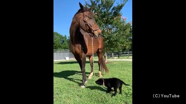 リーダー気取りの子犬に従って相手をしてあげる優しい馬