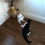 スパーリングで激しく猫パンチを応酬する2匹の猫。