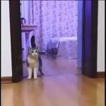 目に見えない障害物を跨いで歩く飼い主を見て困惑する猫がおもしろい