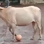 路上サッカーに興じる青年たちと牛のボール争奪戦がおもしろい