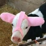 子牛の最新ファッショントレンド・・・凍傷を防ぐための「子牛の耳あて」が可愛い