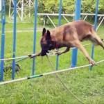 目隠しをしたまま綱渡りをする警察犬が凄い!