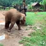 ワンコと追いかけっこしていて足を滑らせて転んでしまう赤ちゃんゾウが可愛い