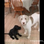 新しい家族として子犬を迎え入れた飼い主に怪訝そうな先住犬