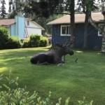 熱波に見舞われたアラスカで涼を求めて民家にやって来たヘラジカ