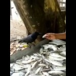 小さな魚に満足できず、もっと大きな魚が欲しいと魚売りの男性に交渉するカラス
