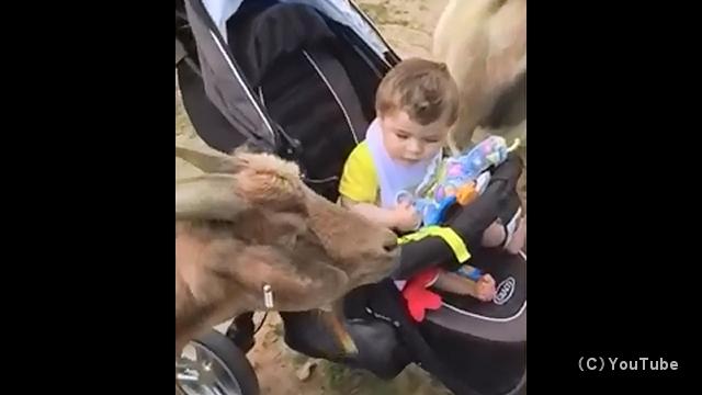 笑わずには居られないヒツジとヤギのおもしろい動画まとめ