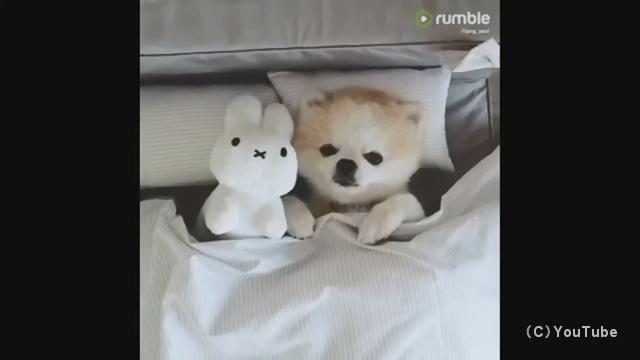 就寝の準備ができて眠りにつくポメラニアンの肉球が可愛すぎ!