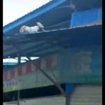 屋根から落ちるも何事もなかったように平然と立ち去る猫