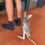 飼い主にまとわりついてご飯をおねだりするカンガルーの赤ちゃんが可愛い