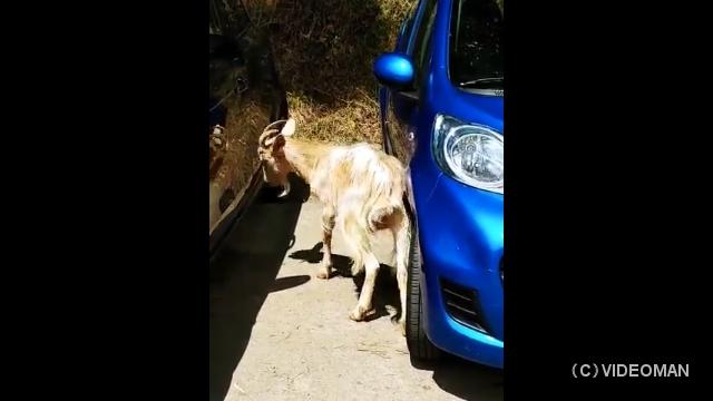 駐車中の一台の車をターゲットに頭突きで波状攻撃を加えるヤギ
