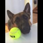 遊ぶ準備ができているのに飼い主に遊んでもらえなくて残念そうな愛犬