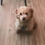 弾むように「お座り」をするゴールデンドゥードルの子犬がおもしろ可愛い