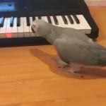 キーボードで「いとしのクレメンタイン」を演奏するインコ