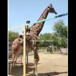 酔っ払いの男性が動物園でキリンの背中に乗るという事件が発生(カザフスタン)