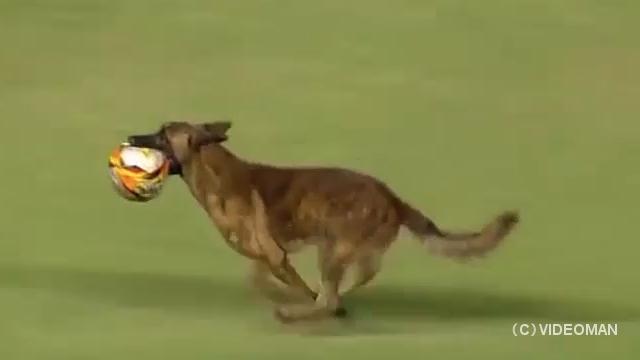 サッカーの試合中に乱入した警察犬、ボールを奪って試合を中断させてしまう