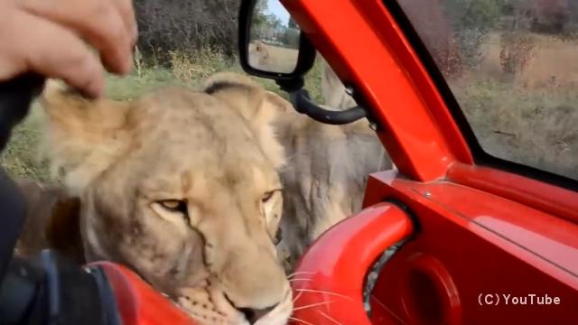 ライオンの群れの中を無防備な車で移動するサファリツアーが恐ろしい