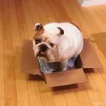 ダンボール箱に入りたいけど、お尻が邪魔をして入り切れないブルドッグ