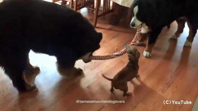 綱引きをする巨大なバーニーズマウンテンドッグの間に割り込み、綱を奪い取るミニチュアダックスフント